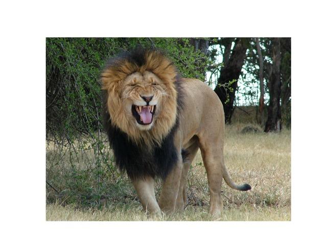 Video leeuw by Mil Kentalis