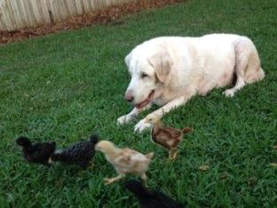 Chickens by Dawson Geller