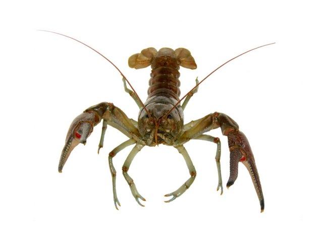 Crayfish Game Lauren L by Chris  Smith