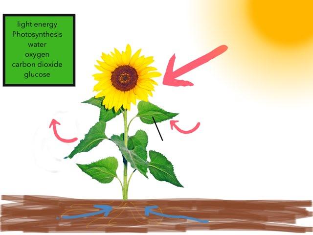 Photosynthesis Quiz by Casey Sentz