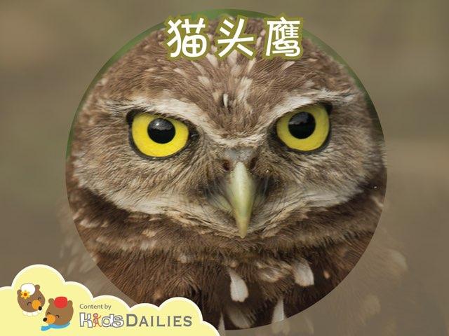 猫头鹰小常识 by Kids Dailies