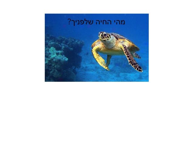 הבנת הנקרא צבי ים by David Dvir Talias