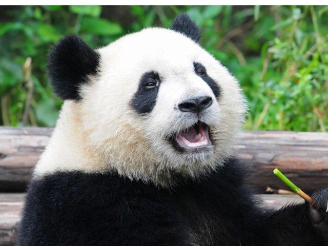 Pandas By Zach by Hulstrom 1st Grade