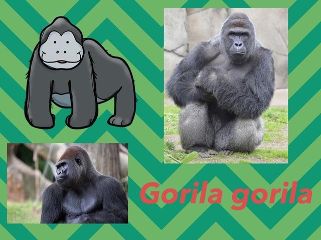Gorilass ebaa by Rafael Munhollo