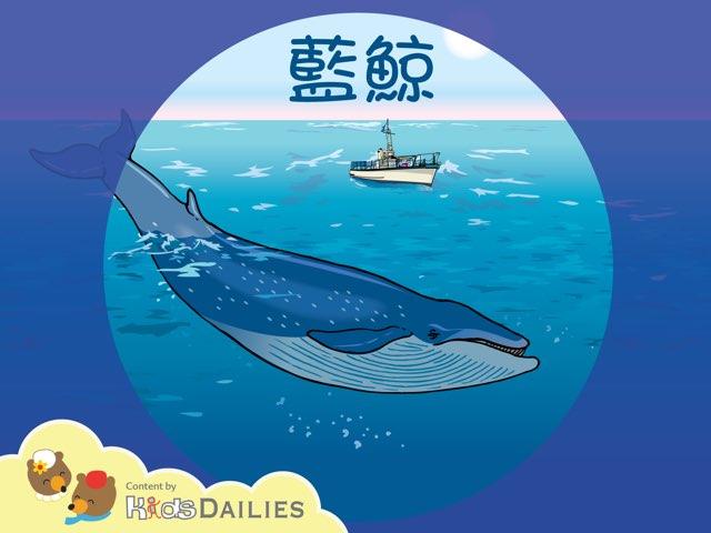 一起來學習關於藍鯨的知識吧! by Kids Dailies