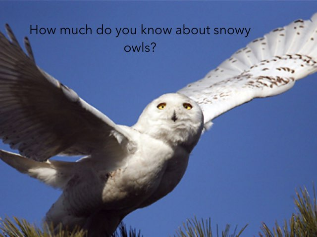 Snowy Owls by P330 Classroom