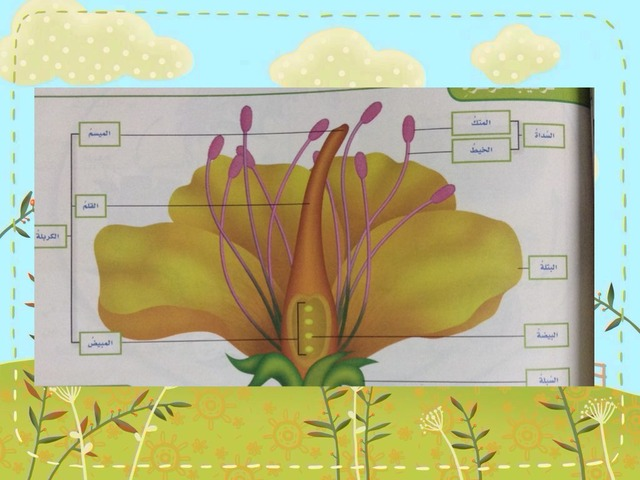 أجزاء الزهره by mmm gh