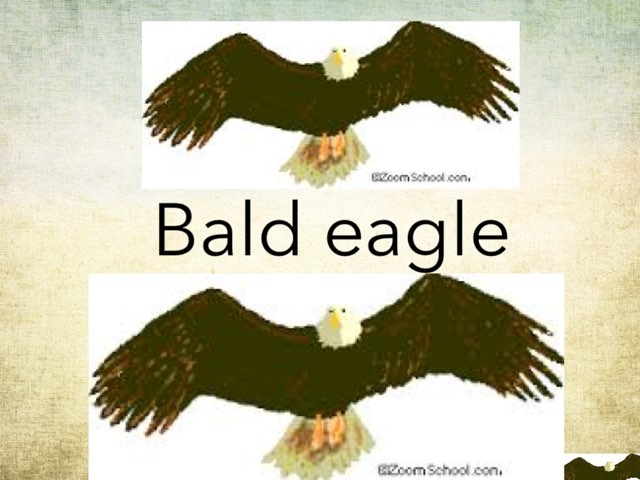 The Bald eagle by Hulstrom 1st Grade