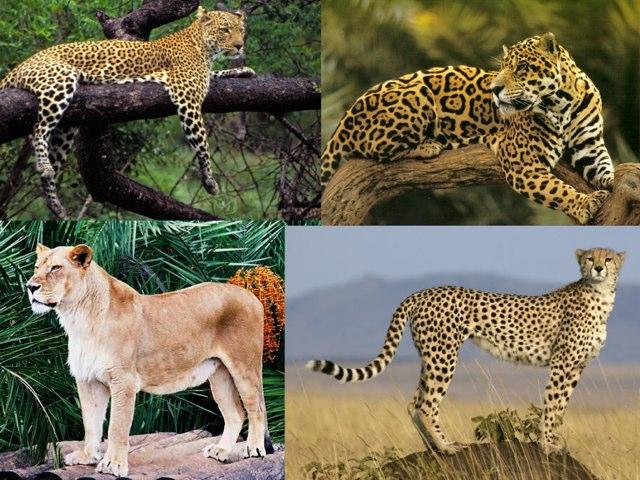 Els guepards by silvia romero