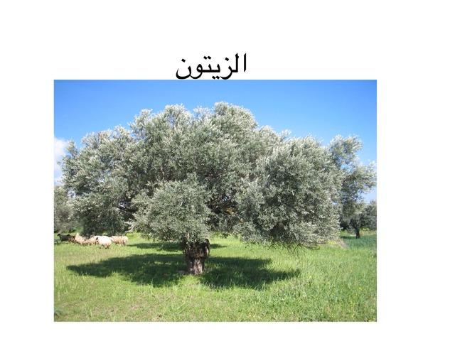 الزيتون by samar iraqi