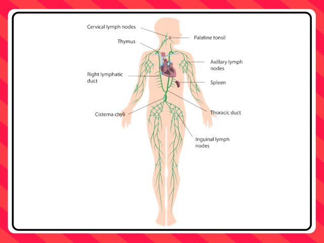 Lymph Cells And Lymphatic System by Sarah Schlussel