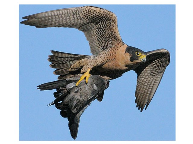 Falcons by Sarah Bosch