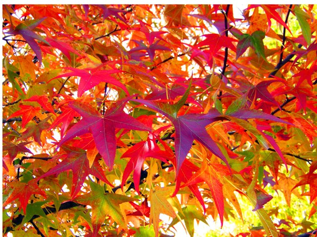 Fall Leaves On Trees  by Michelle Kelly