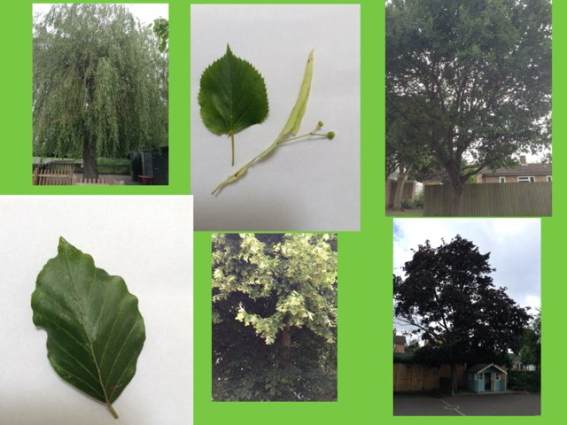Fernvale Foundation Trees by Fernvale  Primary Primary