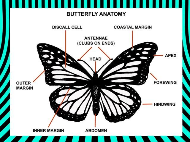 Butterfly anatomy by Coach Nikic