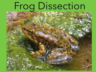 Frog Dissection by Michelle Knight