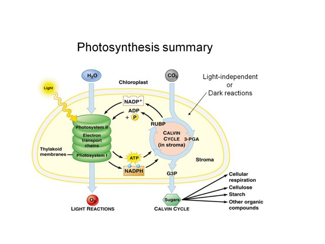 Photosynthesis game  by Jennah Hutson