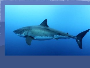 Shark  by Keira Hillsley