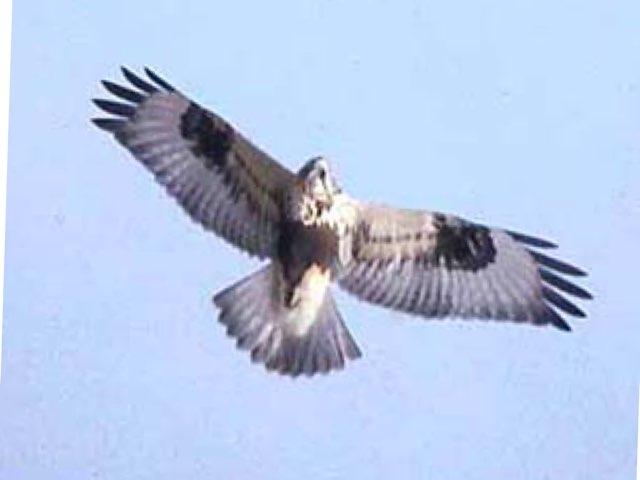 Harpy Eagle by Sarah Bosch