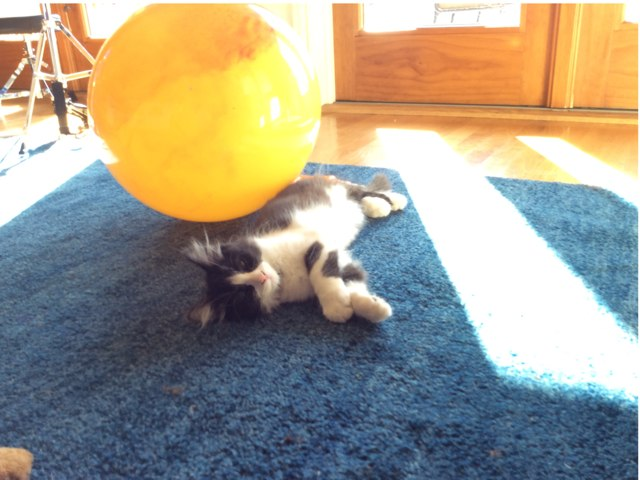 Kitten Or Ball Questions by mrs RA