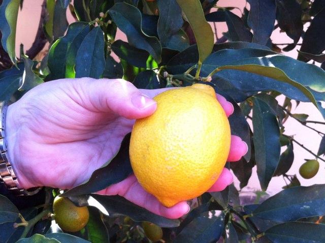 Lemon by Sari Baron
