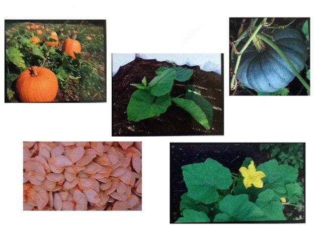 Life Cycle of a Pumpkin by Lauren Kallail
