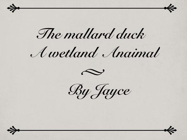 Mallard Duck by Amy Clay