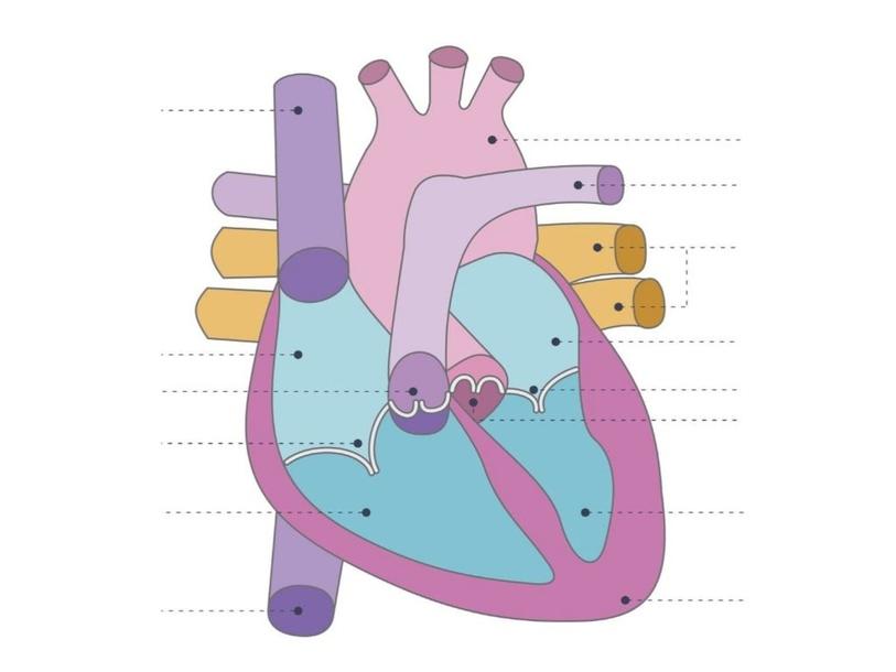 Onderdelen van het hart by ilse folkers