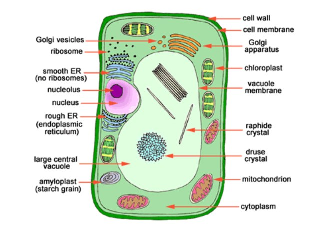 Organelle Functions by Cindy Barnes