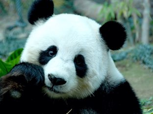 Pandas  by Sophie Wang