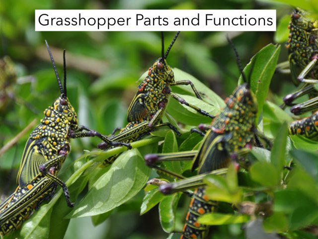 Parts And Functions Of A Grasshopper by Michelle Knight