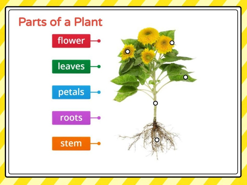 Parts of a Plant by Callie Anderson