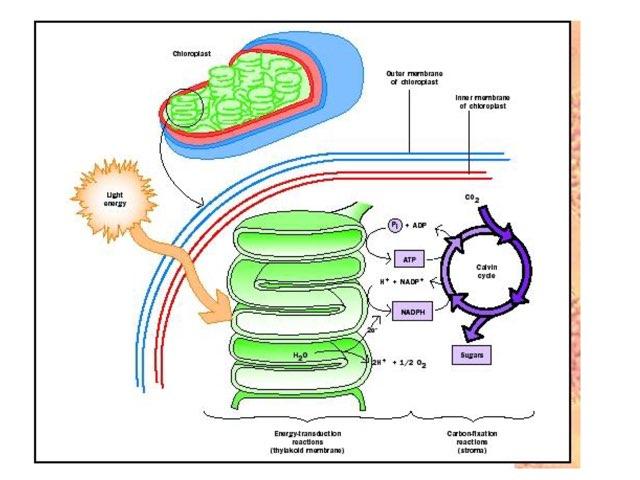 Photosynthesis Part 2  by Jennah Hutson