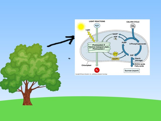 Photosynthesis by Katherine Donavin