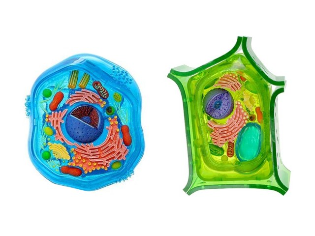 Plant & Animal Cells by Frazzled Teacher