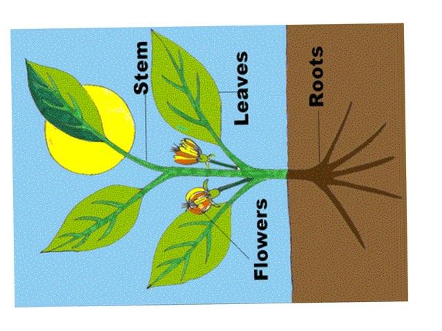 Plant Parts Match by Elizabeth Fondo