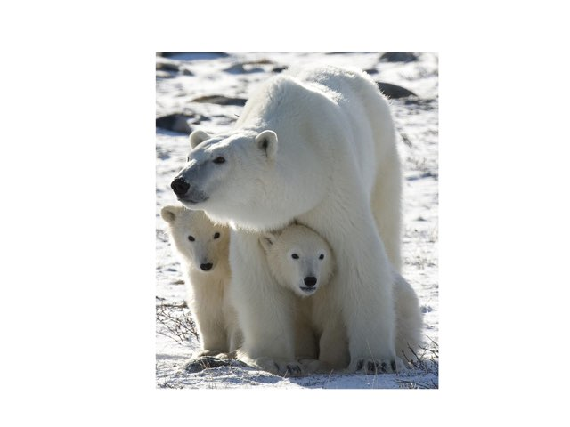 Polar Bears by Linda  Verde LVPLL