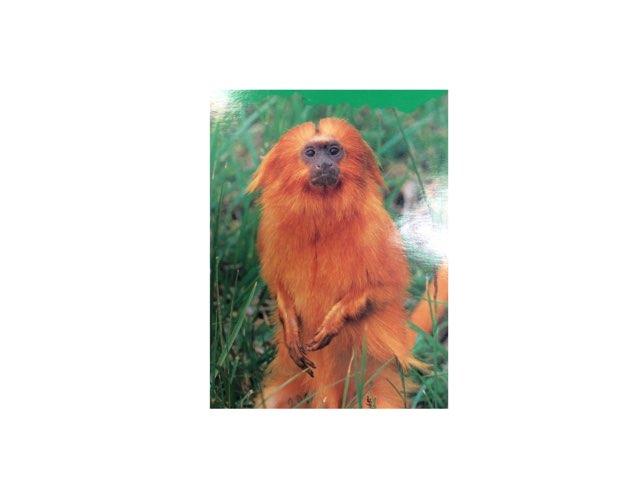 Tamarin monkeys by Keegan scelia