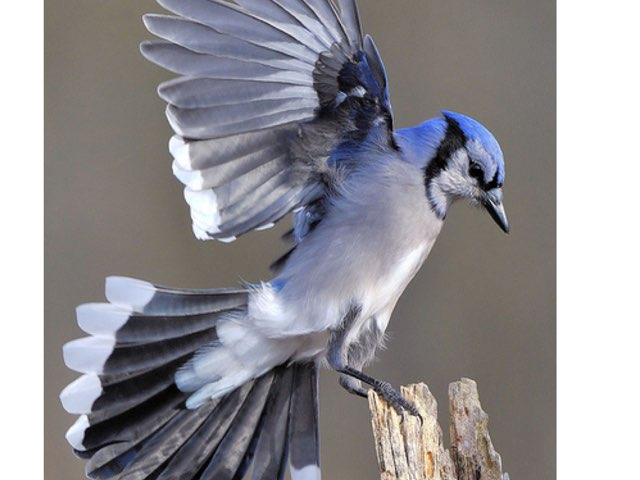The Blue Jay by Amy Clay