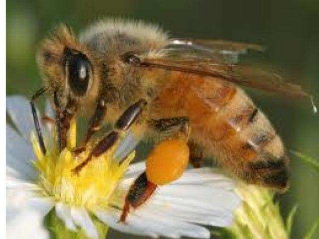 The Honeybee Parts by Beth Maisonet