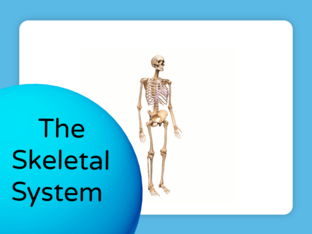 The Basics on the Skeletal System by Kiaralisse Figueroa