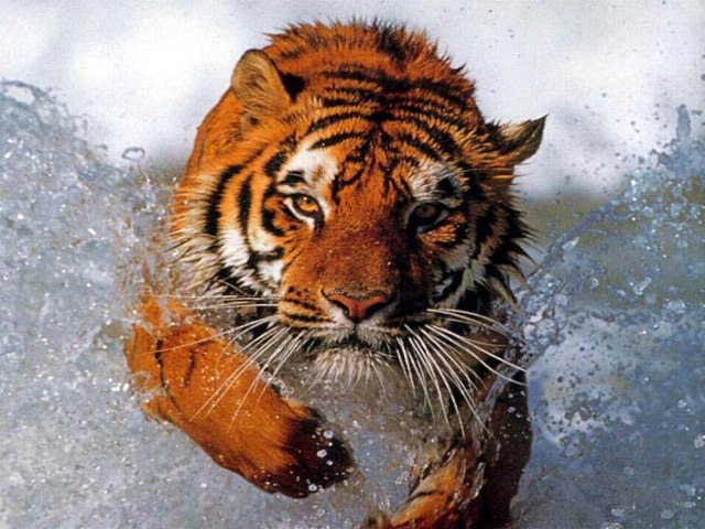 Tiger by Lely Evans