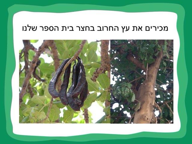 מכירים עץ החרוב בחצר בית הספר שלנו by אורית ירון