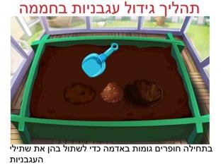 תהליך גידול עגבניות בחממה by Sara Zigelbaum