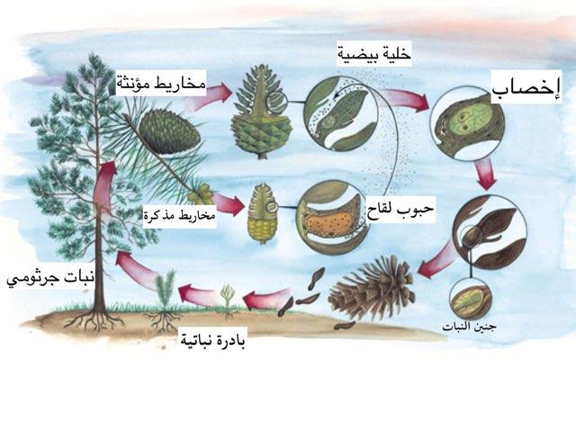 لعبة الصنوبر by Ahmad ahmad