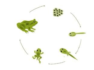 גלגול הצפרדע by Ilana dahan