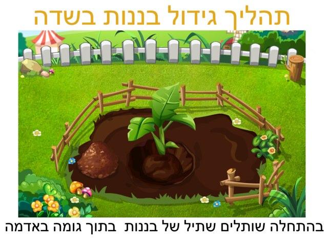 תהליך גידול בננות בשדה by Sara Zigelbaum