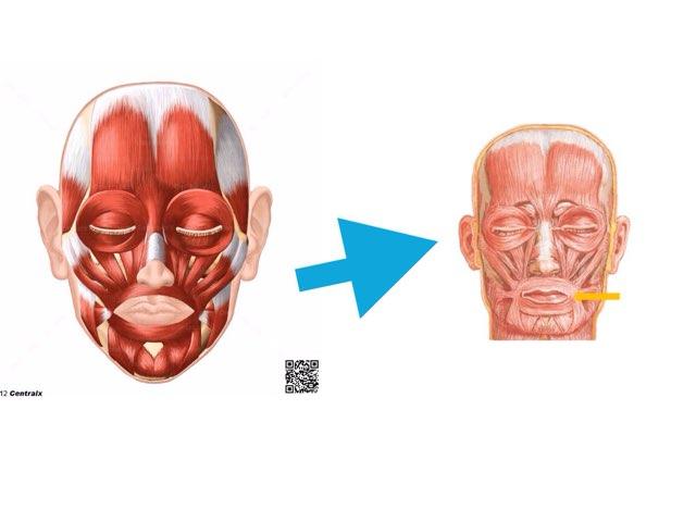 Os músculos Da Face by Silvia hitos