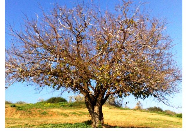 גזע, ענפים ועץ by ורדה לביא