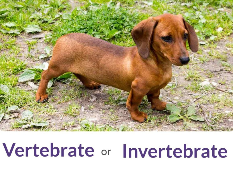 Vertebrate vs. Invertebrate by Julie DiSanto